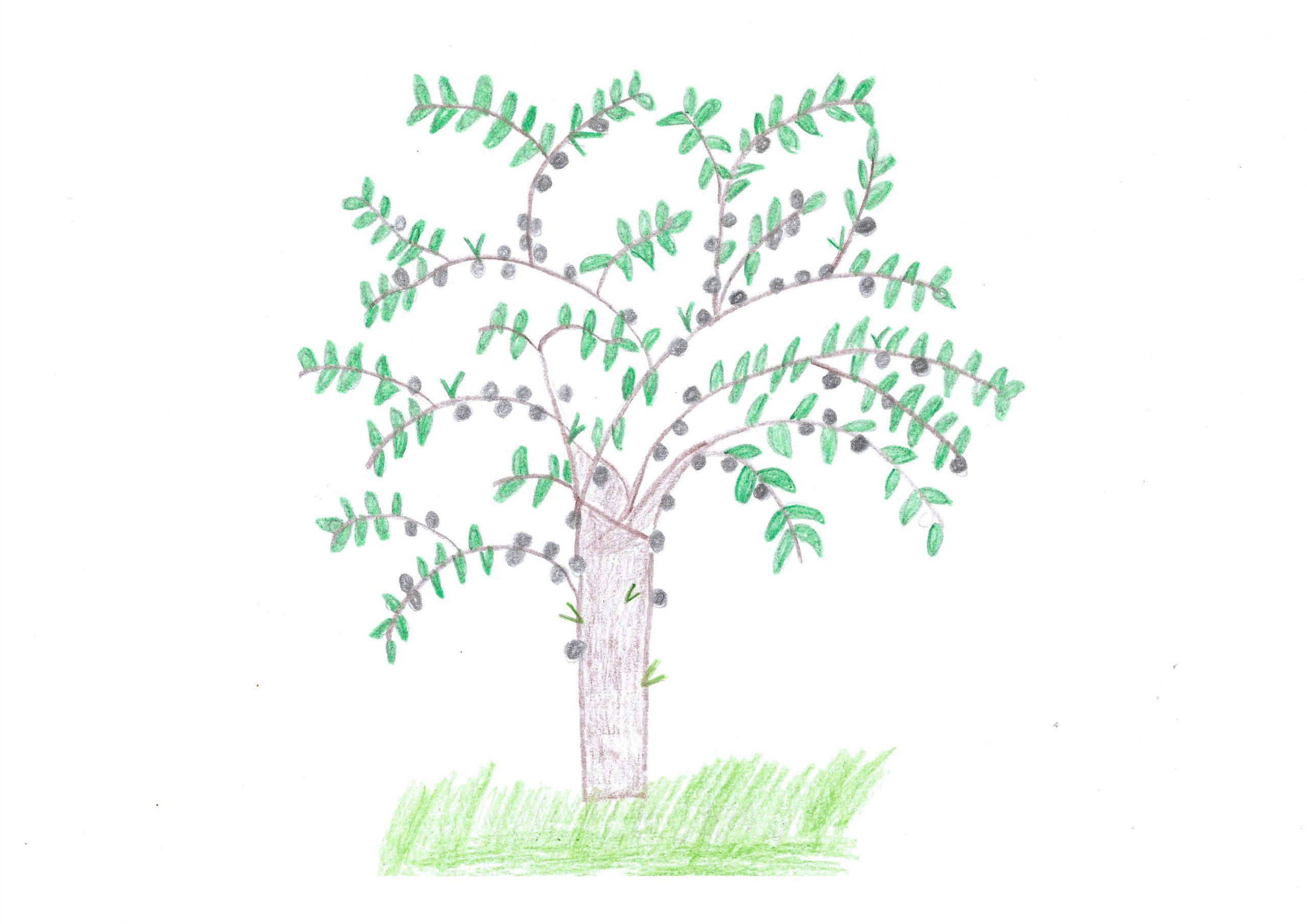 Guapuru — The Paraguayan Grape Tree