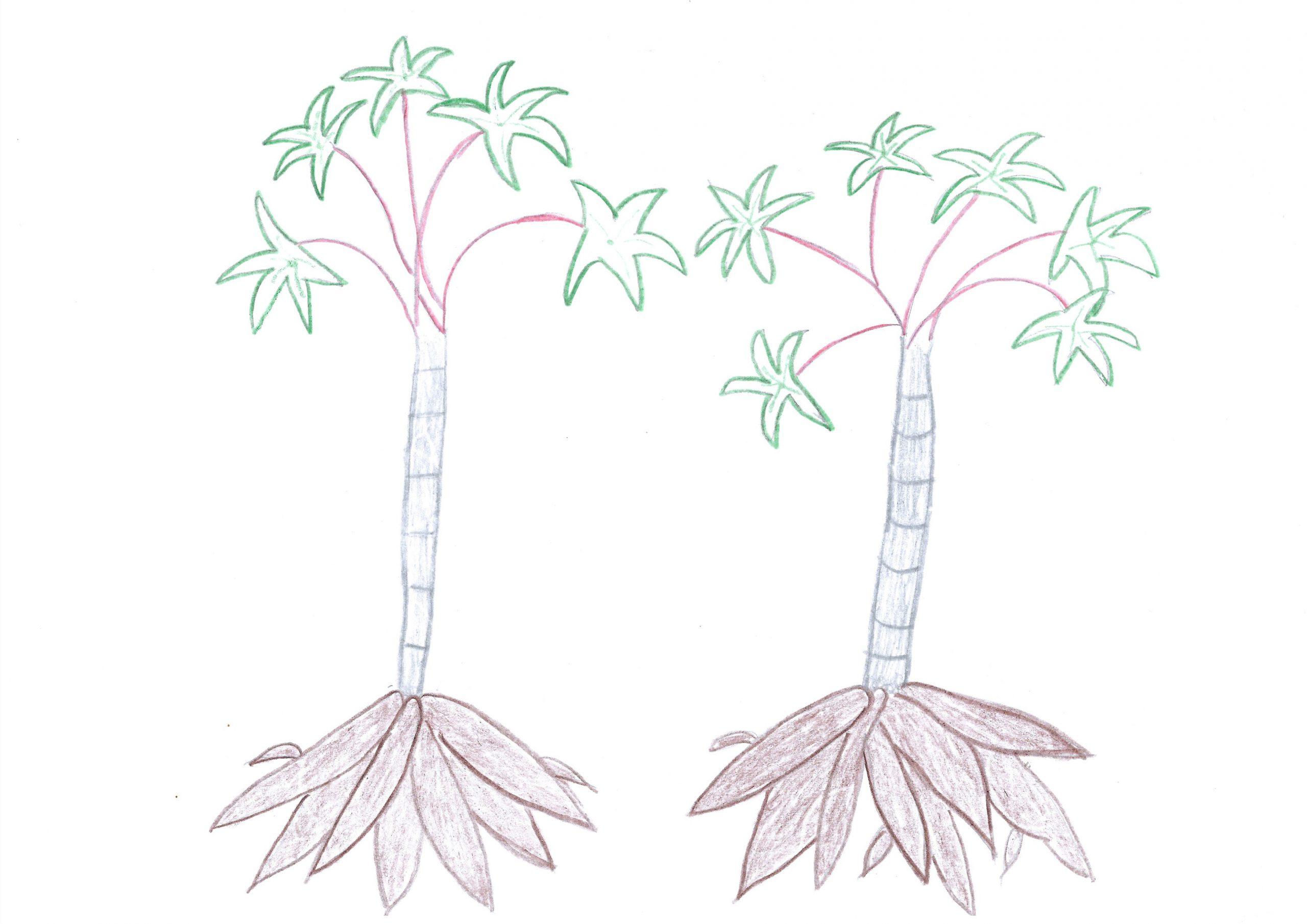Mandi'o — The yucca