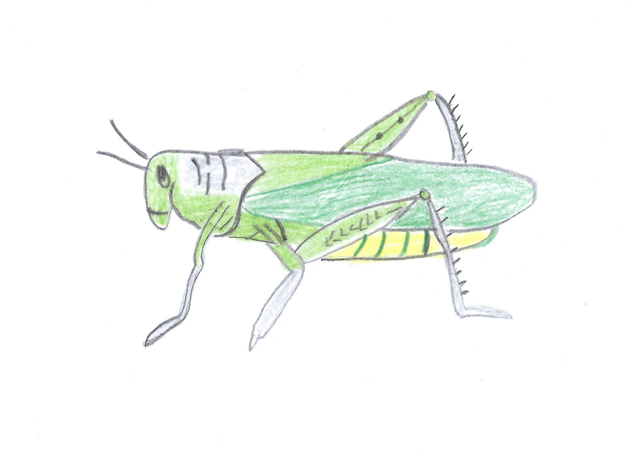Tuku — The grasshopper